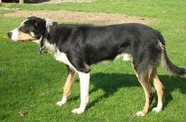 牧羊犬 | 六甲山牧場