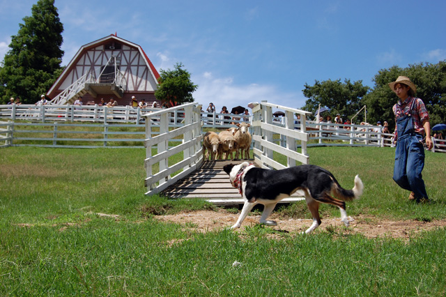 羊の追い込みショー