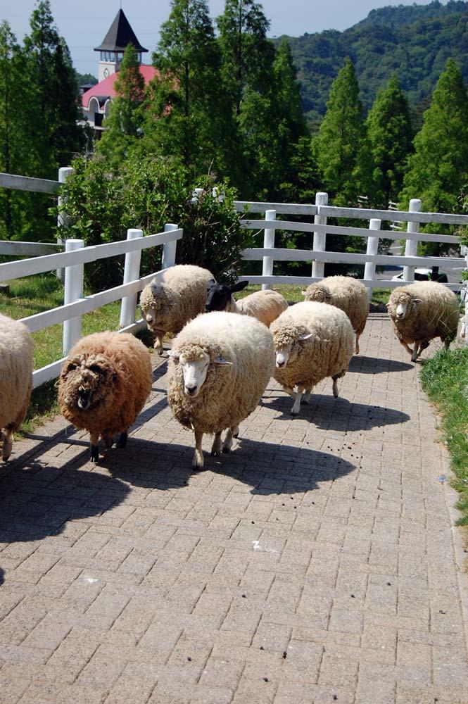 羊の行進(コリデール・サフォーク)