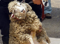 毛刈りショー